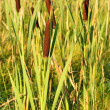 Bulrush plants — Stock Photo