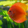 Red discus fish - Stock Photo