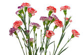 Red and purple carnation flowers — Stock Photo