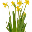 Narcissus flowers — Stock Photo