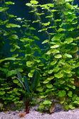 Plants in aquarium — Stock Photo