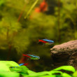 The neon tetra fish - 图库照片