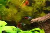 Neon tetra fisk — Stockfoto