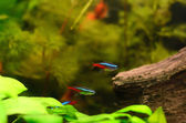 The neon tetra fish — 图库照片