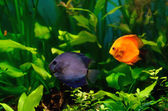 Discus fish in the aquarium — Stock Photo