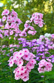 Pink phlox flowers — Stock Photo
