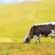 Cow on mountain pasture — Stock Photo
