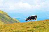 The cow on a mountain pasture — Stock Photo