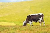 Cow on mountain pasture — Stock Photo