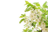 Branch of a blossoming bird cherry — Stok fotoğraf