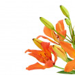 Close up Tiger Lily flower — Stock Photo