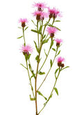 Cornflower (Centaurea jacea) — Stock Photo