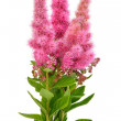 Bouquet of astilbe flowers — Stock Photo