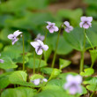 Violets flowers in the spring forest — Stock Photo
