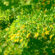 Stock Photo: Yellow acacia