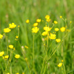 Ranunculus acris flowers — Stock Photo #26348345