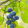 Plums on the tree — 图库照片