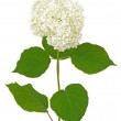 White hydrangea — Stock Photo