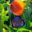 Stock Photo: Orange and blue discus fish