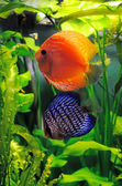 Orange and blue discus fish — Stock Photo