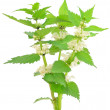 Stinging nettle (Urticdioica) — Stock Photo #32765837