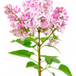 Blooming of pink lilac (Syringa) — Stock Photo #32765899
