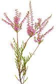 Calluna vulgaris flor — Foto de Stock
