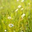 Chamomile flowers, selective focus — Stock Photo