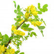 Yellow acacia (Caragana arborescens) branch — Стоковая фотография