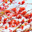 Rowan berries on the tree — Foto Stock