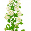 The branch of bird-cherry tree (Prunus padus) — Stock Photo