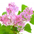 Blooming of pink lilac (Syringa) — Stock Photo #34704589