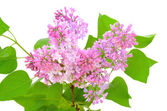 Blooming of pink lilac (Syringa) — Stock Photo