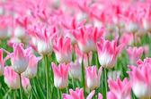 ピンクのチューリップ — ストック写真
