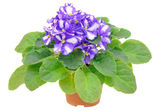 Saintpaulia flower in flowerpot — Stock Photo