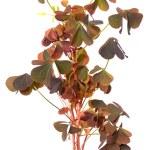 Oxalis triangularis flowers — Stock Photo #35570399