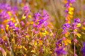 Melampyrum nemorosum flowers — Stock Photo