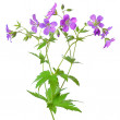 Meadow geranium (Geranium pratense) flower — Stock Photo