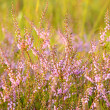 Calluna vulgaris flowers — Stock Photo