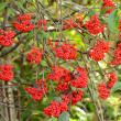 Red Elderberry — Stock Photo