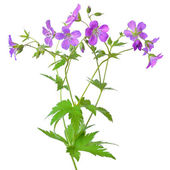 Meadow geranium (Geranium pratense) flower — Foto Stock