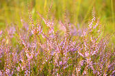 Calluna vulgaris flowers — Stockfoto