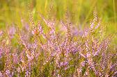 Calluna vulgaris flowers — ストック写真