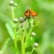 Stock Photo: Skipper butterfly