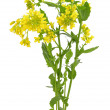 Barbarea vulgaris flowers — Stock Photo