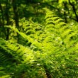 Stock Photo: Green leaves of fern