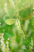 Butterfly on Melilotus albus flower — Stock Photo