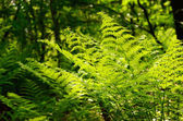 Green leaves of fern — Stock Photo