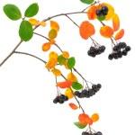 Black chokeberry (Aronia melanocarpa) branch — Stock Photo