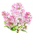Blooming of pink lilac (Syringa) — Stock Photo #37256395